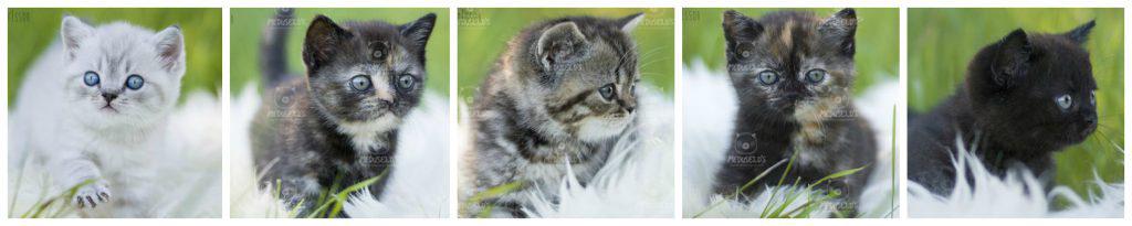 brittiskt korthår kattungar SE*Meduseld's