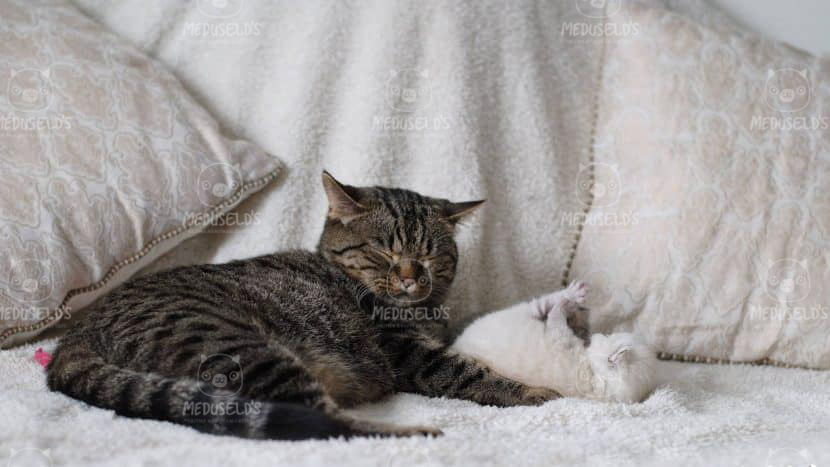 Qtcat Bellatrix med kattungar BSH n 24 colourpoint